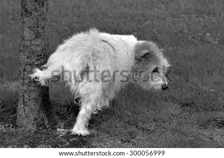 Norfolk Terrier pee on a tree in the park. (BW) - stock photo
