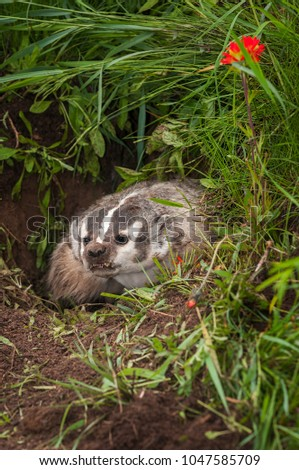 North American Badger (Taxidea taxus) Snarls Out - captive animal