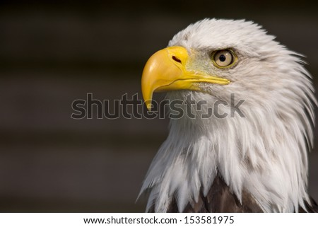 North American Bald Eagle  - stock photo