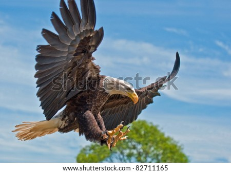 North American Bald Eagle with Talons out - stock photo