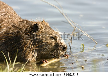 North American Beaver (Castor canadensis) in the water, gnawing on some wood in the wild - stock photo