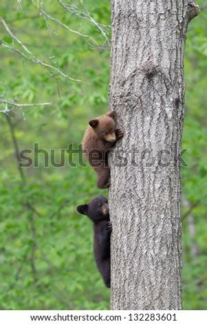 North American Black Bear - stock photo