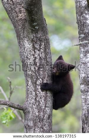North American Black Bear Cub on tree - stock photo