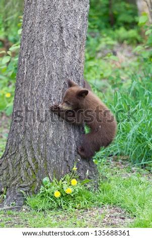 North American Black Bear cubs - stock photo