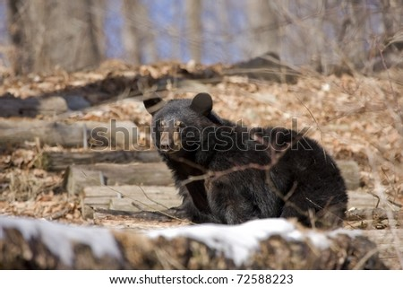 North american black bear in early spring - stock photo