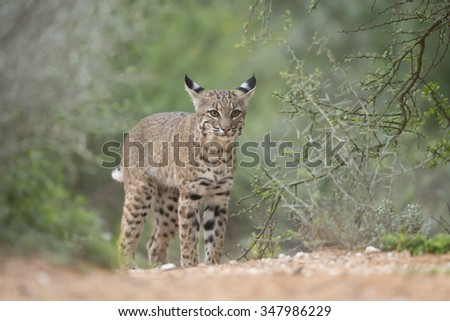 North American Bobcat at pond in Southern Texas  - stock photo