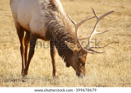 North American Elk - stock photo