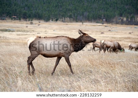 North American elk cow in an open meadow in Rocky Mountain National Park, Colorado - stock photo