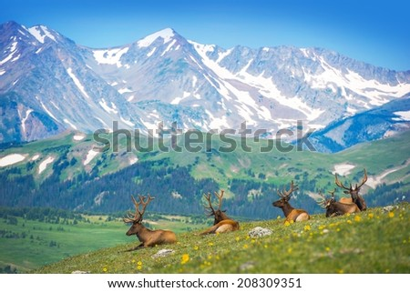 North American Elks on the Rocky Mountain Meadow in Colorado, United States. Resting Elks - stock photo