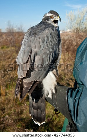 North American goshawk before the hunt. Bird of prey getting ready to fly - stock photo