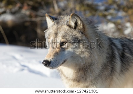 North American Grey Wolf - stock photo