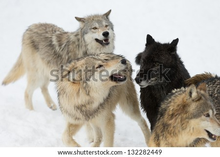 North American Grey Wolves interacting in a pack - stock photo