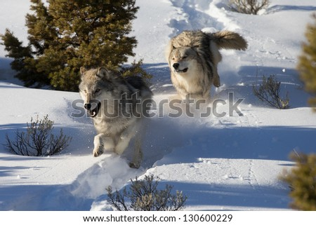 North American Grey Wolves running in snow