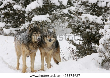 North American Grey Wolves Snow Storm