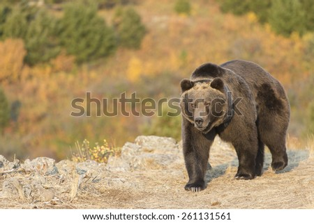 North American Grizzly Bear at sunrise in Western USA