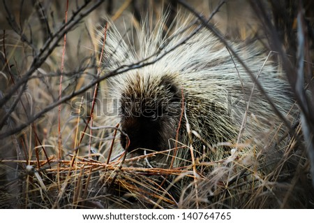 North American porcupine Alberta Canada - stock photo
