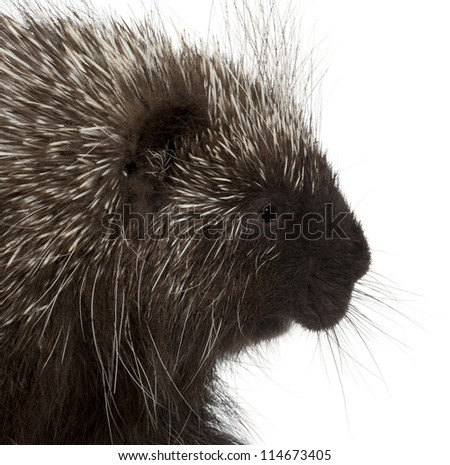 North American Porcupine, Erethizon dorsatum, also known as Canadian Porcupine or Common Porcupine against white background
