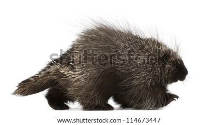 North American Porcupine, Erethizon dorsatum, also known as Canadian Porcupine or Common Porcupine walking against white background
