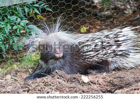 North American Porcupine, Erethizon dorsatum, captive - stock photo