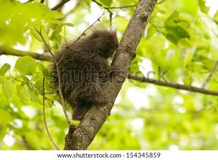 North American porcupine, Erethizon dorsatum,  climbing up a tree trunk - stock photo
