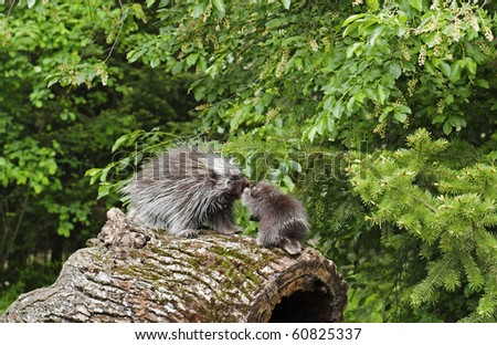 North American Porcupine (Erethizon dorsatum) mother and baby rub noses while walking on an old log on the forest floor. - stock photo