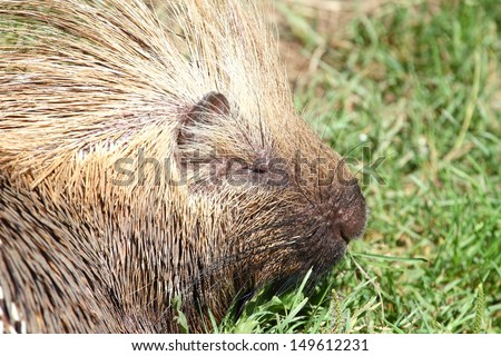 North American porcupine portrait in a zoo - stock photo
