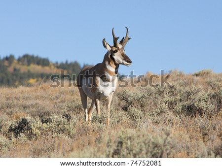North American pronghorn antelope buck in nature - stock photo