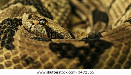 North American Rattler Snake - stock photo