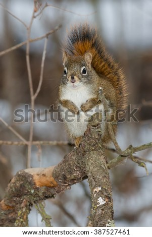 North American Red Squirrel standing on a branch.