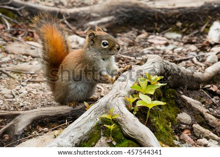 North American Red Squirrel standing on a tree root.