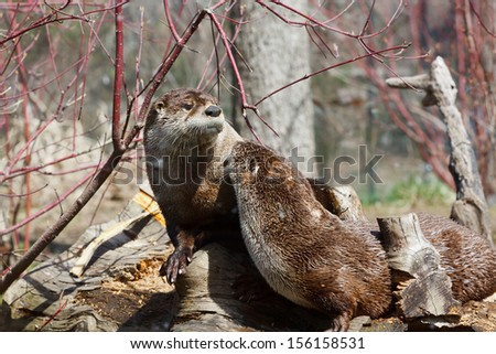 North American River Otter, Lontra canadensis - stock photo