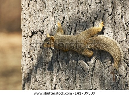 North American Tree Squirrel Closeup. Squirrel on the Tree. Wildlife Photo Collection.