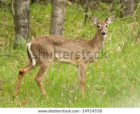 North American Whitetail Deer
