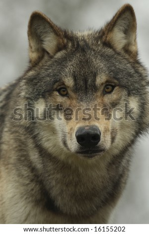 North American Wolf face on