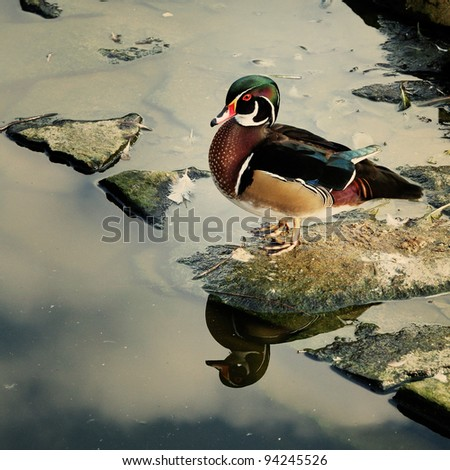 North American wood duck standing on a rock by a small pond with reflection. - stock photo