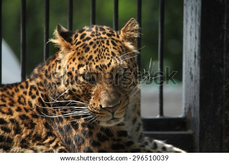 North-Chinese leopard (Panthera pardus japonensis). Wildlife animal.  - stock photo