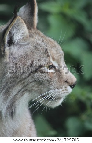 North lynx (Felis lynx) Up to some remaining stocks the lynx was exterminated in Europe, however, in some areas (e.g. to Harz mountains) he was settled successfully again. - stock photo