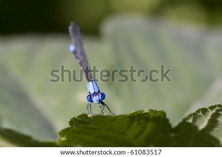 Northern Bluet Damselfly Closeup - stock photo