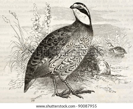 Northern Bobwhite old illustration (Colinus virginianus). Created by Kretschmer and Jahrmargt, published on Merveilles de la Nature, Bailliere et fils, Paris, ca. 1878 - stock photo