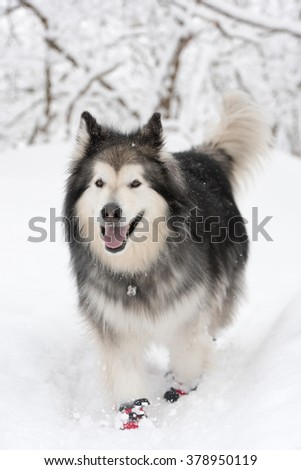 Northern breed dog in snow with booties on, facing photographer - stock photo