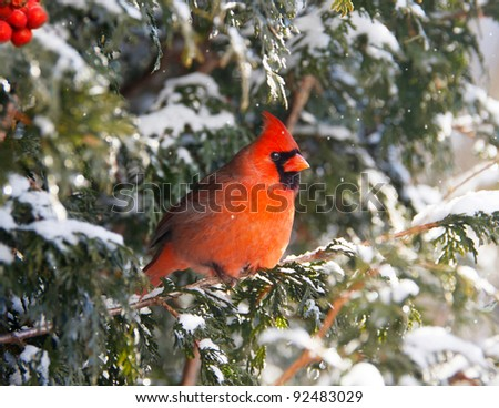 Northern Cardinal bird, male, perched on a cedar hedge in the snow with sparkling bokeh, and red berries. - stock photo