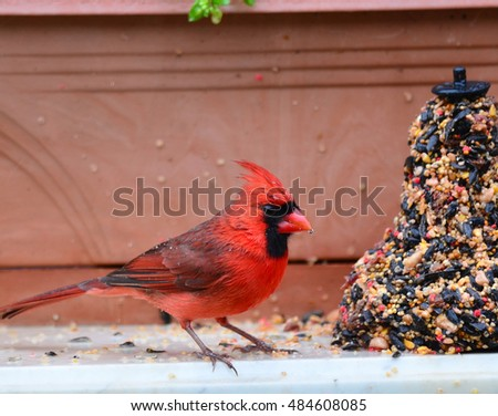 Northern Cardinal (Cardinalis cardinalis) as it feeds on bell-shaped ball of seeds on a wet rainy day.