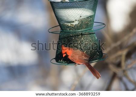 Northern Cardinal, Cardinalis cardinalis, male, at feeder in winter - stock photo
