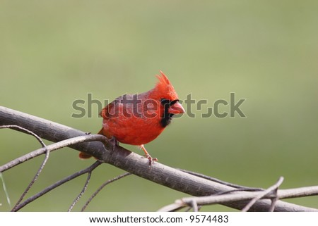 Northern Cardinal (cardinalis cardinalis) on a pine branch