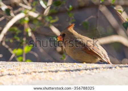 Northern Cardinal, female - stock photo