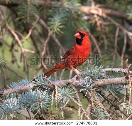 Northern Cardinal in Summer