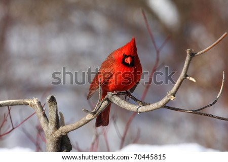 Northern Cardinal male - stock photo