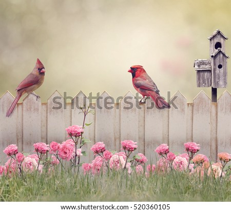 Northern Cardinal Male and Female Perching on the fence