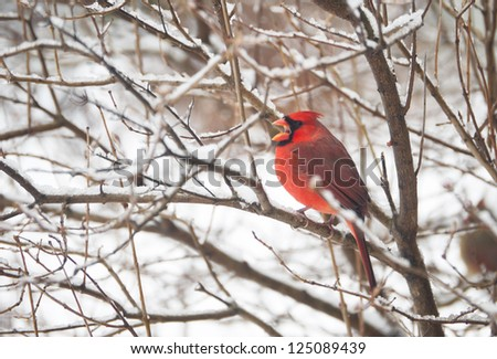 Northern Cardinal, male, perched on a branch in the winter, yawning. - stock photo