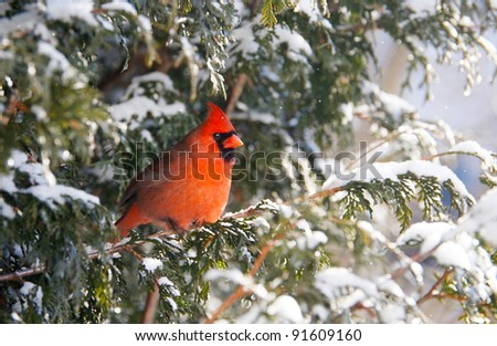 Northern Cardinal, male, perched on a cedar hedge in the snow.